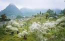 Hoa mận nở trắng trời ở miền Tây Nghệ An chờ đón Tết