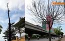 Nhiều cây xanh chết khô khó hiểu trên đường Phạm Hùng, HN