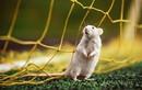 Ảnh đáng yêu đến khó tin của... loài chuột
