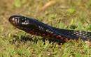 """Ngoài rắn lục đuôi đỏ, còn rắn nào """"thích"""" vào nhà dân?"""
