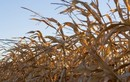 Triều Tiên thiếu đói trầm trọng do hạn hán nặng nề