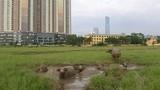Kinh ngạc chăn trâu trên đất dự án tháp cao nhất VN