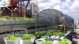 Người sài Thành đầu tư trăm triệu tự trồng rau sạch
