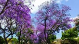 Những loài hoa màu tím ở Đà Lạt níu chân du khách