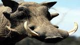 Bị lợn rừng tấn công, một phụ nữ Quảng Ngãi chết thảm