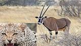Video:Báo đốm tấn công linh dương và kết cục bi thảm