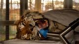 Cận cảnh màn nhổ răng hổ Siberia nặng 193 kg
