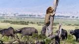 Trâu rừng nổi máu anh hùng tấn công sư tử cứu nguy voi con
