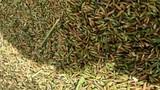 Bí mật về loại gạo đắt gấp 10 lần gạo thường