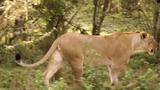 Video: Chúa sơn lâm mất một mảng đùi vì trâu rừng