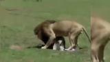 Video: Vừa ra khỏi bụng mẹ, ngựa non đã bị sư tử đoạt mạng