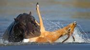 Bị cả chó hoang lẫn hà mã truy sát, linh dương vẫn thoát chết