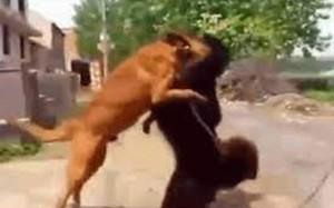 Video: Chó becgie tử chiến chó ngao Tây Tạng và cái kết gay cấn