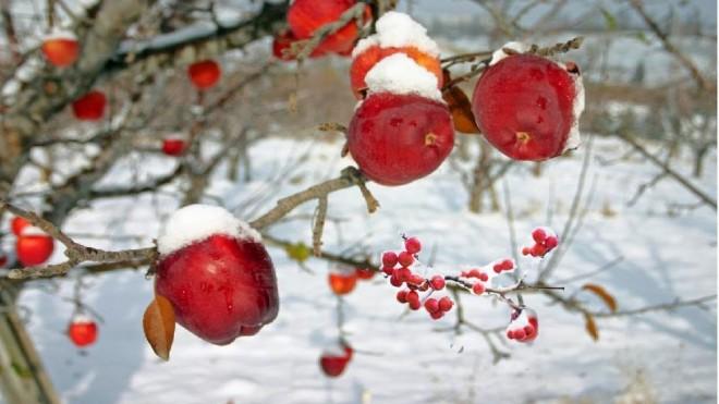 Trang trại trồng táo đắt nhất thế giới có gì đặc biệt?