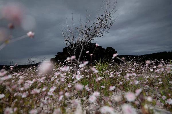 Ky la loai hoa tuyet dep no ro sau nhung tran chay rung o Australia-Hinh-6