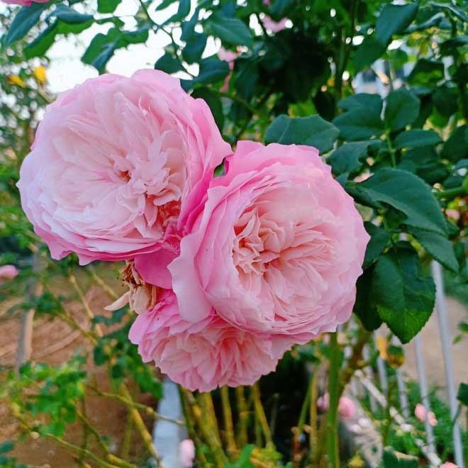 Chang trai Dak Lak bo viec ve trong hoa cho vo ngam-Hinh-14