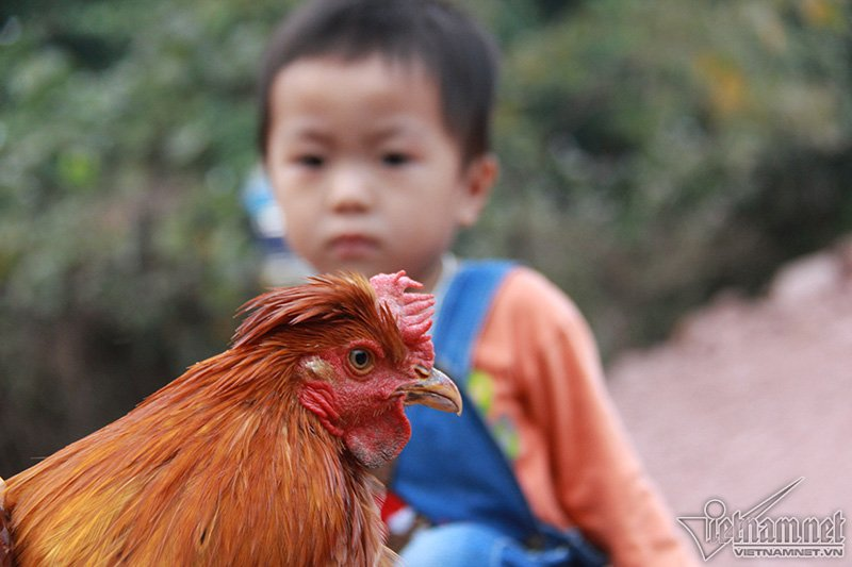 Quy gia giong ga Tien Yen co rau, co mu o Quang Ninh-Hinh-4