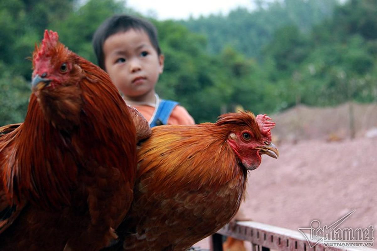 Quy gia giong ga Tien Yen co rau, co mu o Quang Ninh-Hinh-5