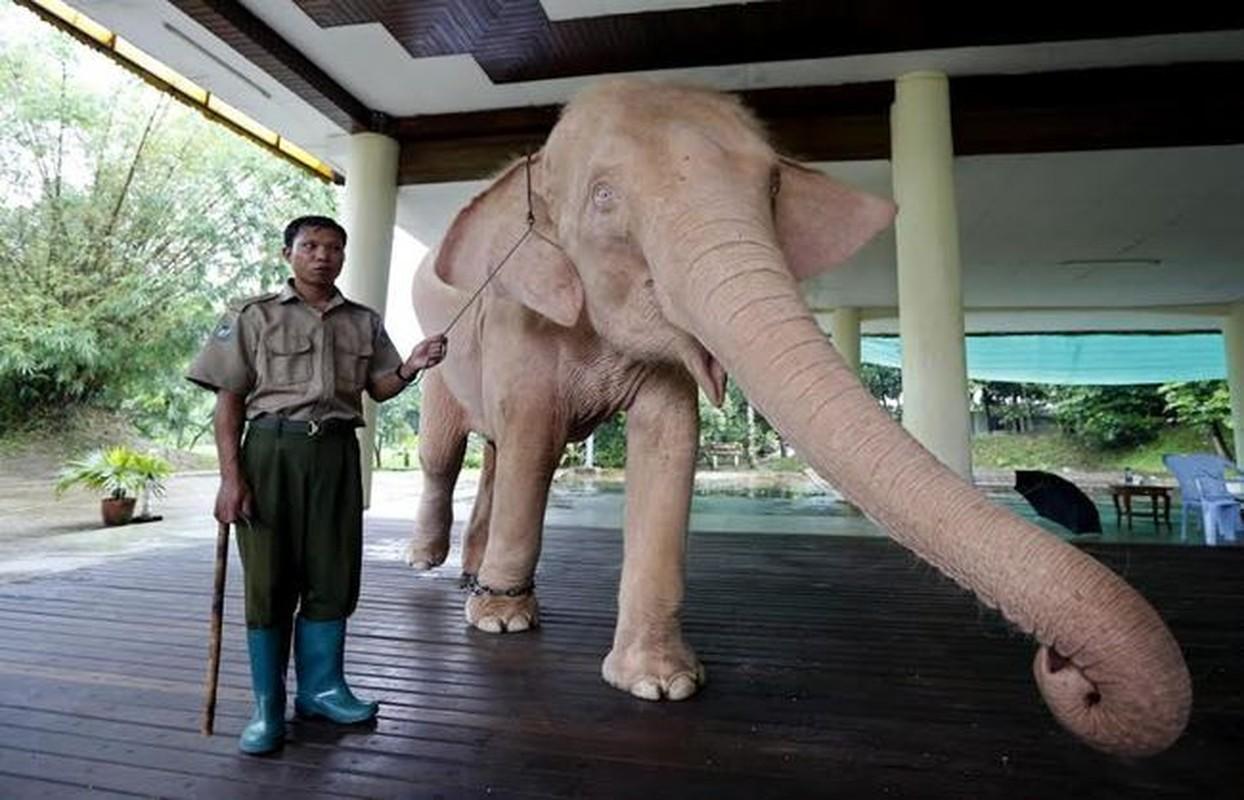 Linh vat tuong trung cho thinh vuong, may man o Myanmar