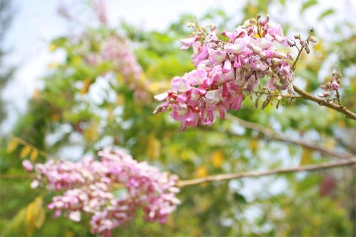 Ngam cung duong hoa anh dao tuyet dep tai Vung Tau-Hinh-2