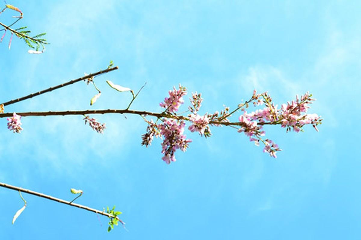 Ngam cung duong hoa anh dao tuyet dep tai Vung Tau-Hinh-3