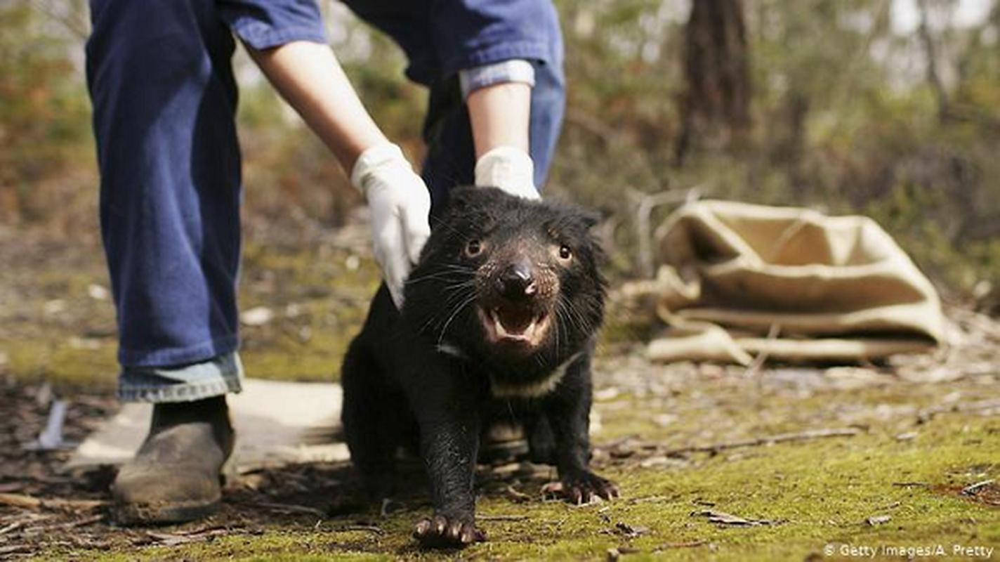 Quy Tasmania xuat hien tai Australia sau hang nghin nam bien mat-Hinh-10