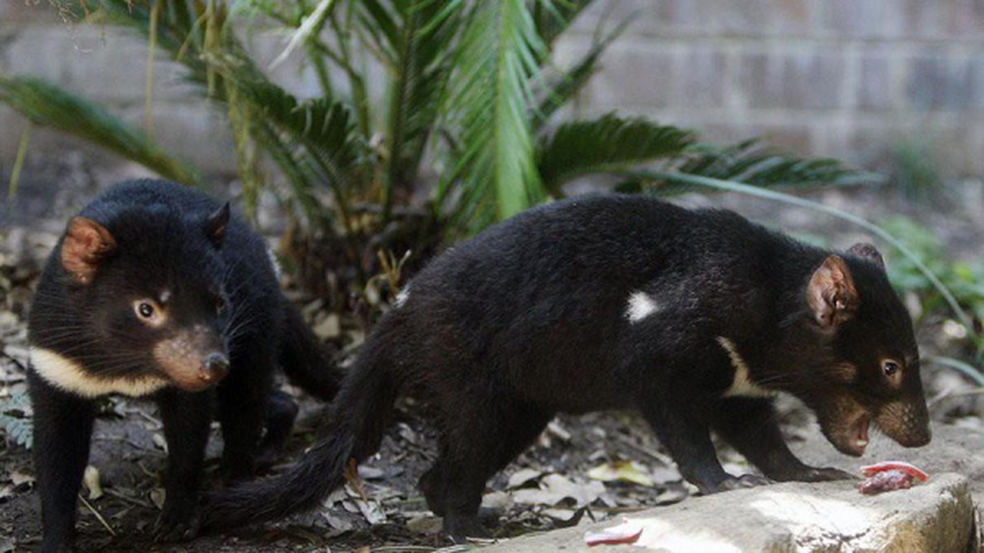 Quy Tasmania xuat hien tai Australia sau hang nghin nam bien mat-Hinh-12