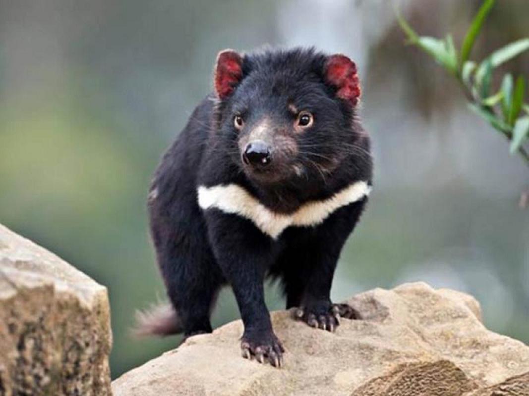 Quy Tasmania xuat hien tai Australia sau hang nghin nam bien mat-Hinh-4