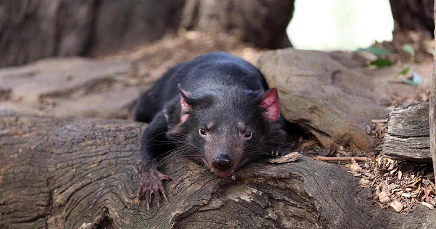 Quy Tasmania xuat hien tai Australia sau hang nghin nam bien mat-Hinh-7