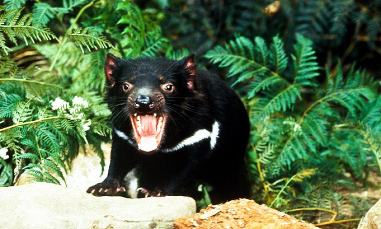 Quy Tasmania xuat hien tai Australia sau hang nghin nam bien mat