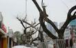 7 cây sưa đỏ ở HN chết: Cty Thành Công Xanh có phải đền tiền tỷ?