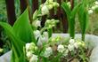 10 loài hoa đẹp nhưng độc, nhấm một chút...mất mạng như chơi