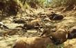 Khiếp đảm ảnh nhựa đường tan chảy, động vật chết la liệt vì nắng nóng