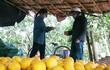 Nông dân trồng bưởi Diễn ở Hà Nội kiếm tiền tỷ vụ Tết