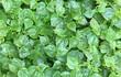 """5 loại rau """"hái ra tiền"""" mọc đầy ở Việt Nam... không phải ai cũng biết"""