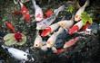 9 loại cá cảnh dễ nuôi, đem tài lộc cho gia chủ