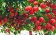 Chỉ 2 thùng xốp, mẹ đảm Hà Nội sở hữu vườn cà chua trĩu quả