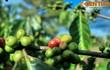Giai thoại lịch sử ly kỳ về nguồn gốc của cà phê