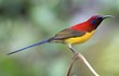 Đã mắt với sắc màu các loài chim hút mật Việt Nam