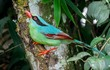 Ngẩn ngơ ngắm vẻ đẹp tuyệt sắc của chim giẻ cùi Việt Nam