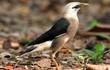 Ngạc nhiên với sự đa dạng của các loài chim sáo ở Việt Nam