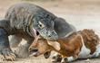 Rồng Komodo đã từng tấn công và... ăn thịt người