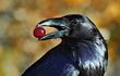 Phát hiện bất ngờ khi so sánh trí khôn giữa quạ đen và vượn