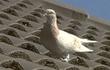 Chú chim bồ câu bị xử tử sau khi bay... 8.000 dặm