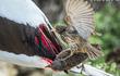Đừng nhầm tưởng về chim sẻ, chúng có thể hút máu để... sinh tồn