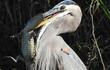 Khám phá loài chim tuyệt đẹp săn cả cá mập lẫn cá sấu