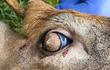 Con hươu có lông mọc từ mắt chỉ phân biệt được ngày và đêm