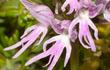 Hoa lan cũng có những hình dạng khiến người nhìn... phát hoảng