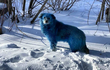 Sự thật đau lòng đằng sau bộ lông xanh dương bí ẩn của bầy chó