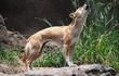 Chó biết hát xuất hiện trở lại sau 50 năm gần như tuyệt chủng